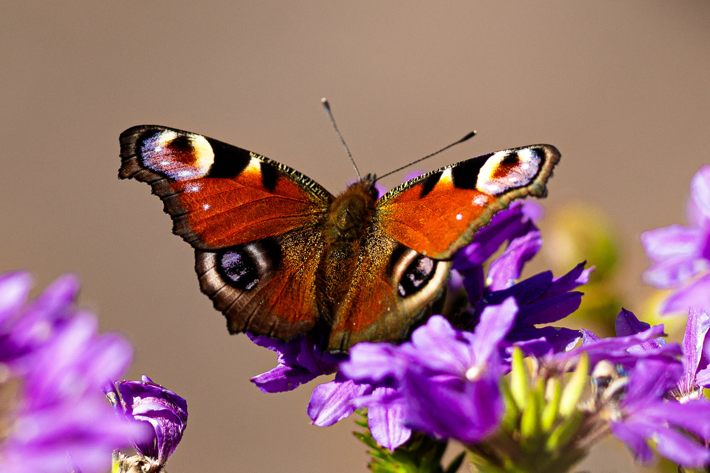 A close-up of a butterfly sitting on a purple flower, showing it's orange wings with markings that are reminiscent of a pair of eyes.