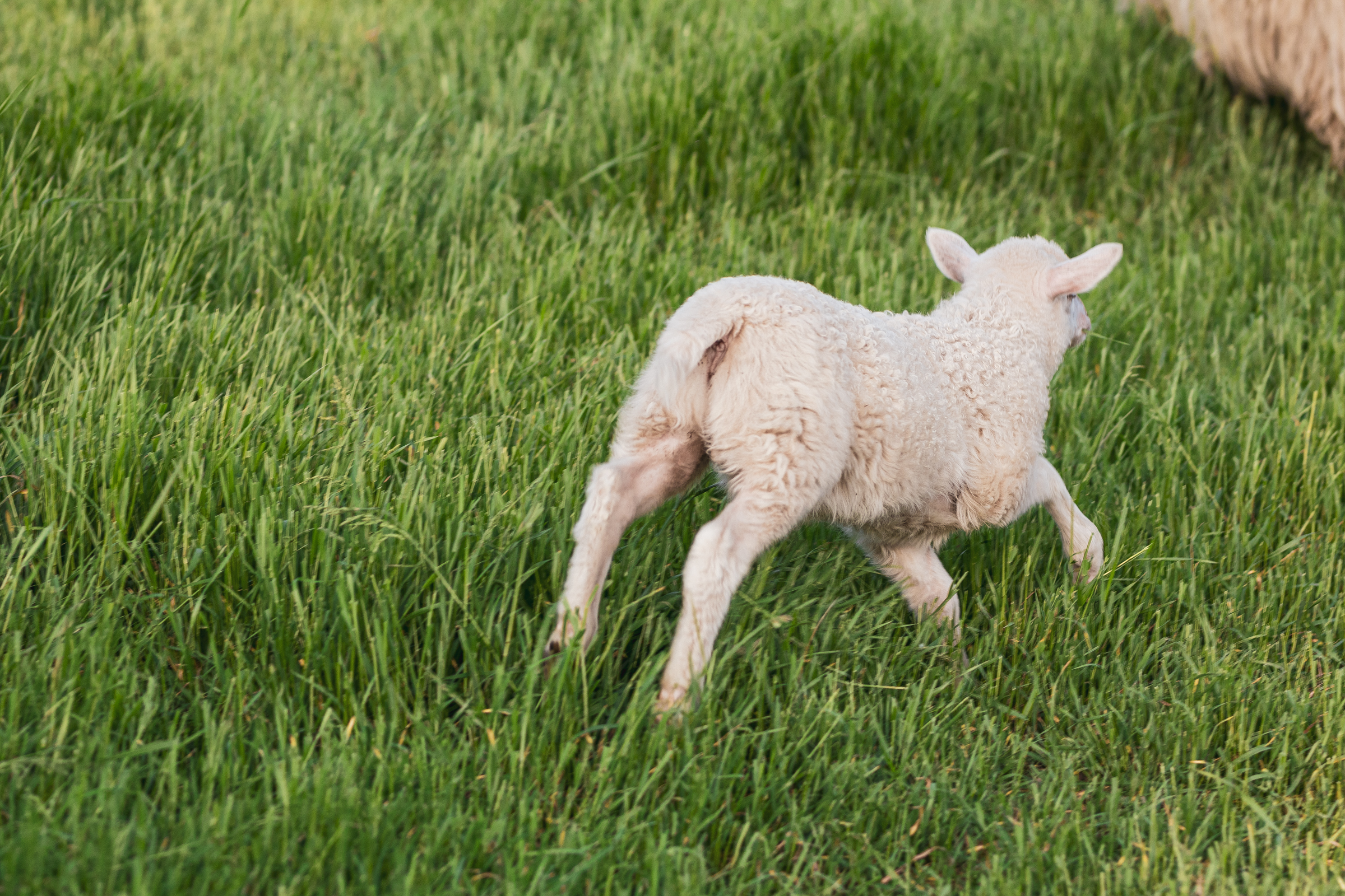 A young sheep on a green field running away from the camera and out of the frame.